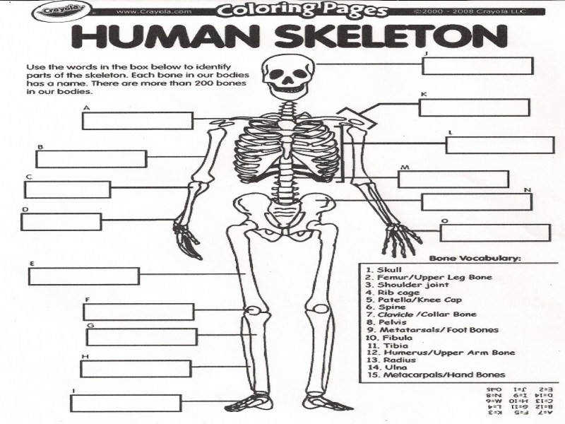 Skeleton Worksheet – Human Anatomy Chart