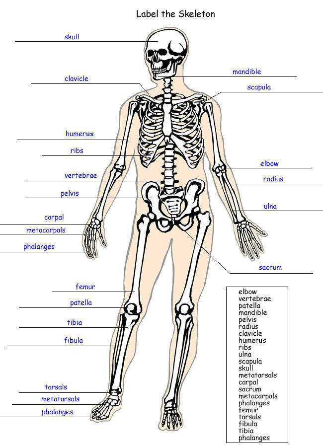 the human skeleton worksheet answers – citybeauty Skeleton
