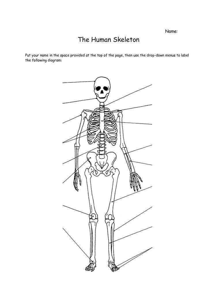 Human Skeleton Bones Worksheet