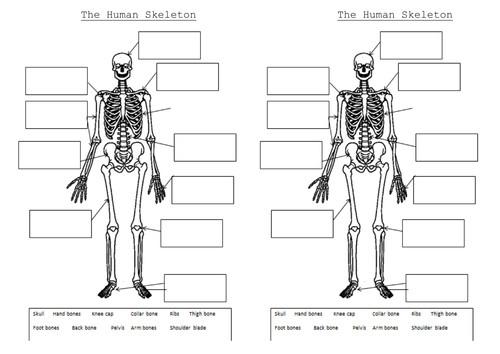 The skeleton and muscles Powerpoint and worksheets by Hilly577 Teaching Resources Tes
