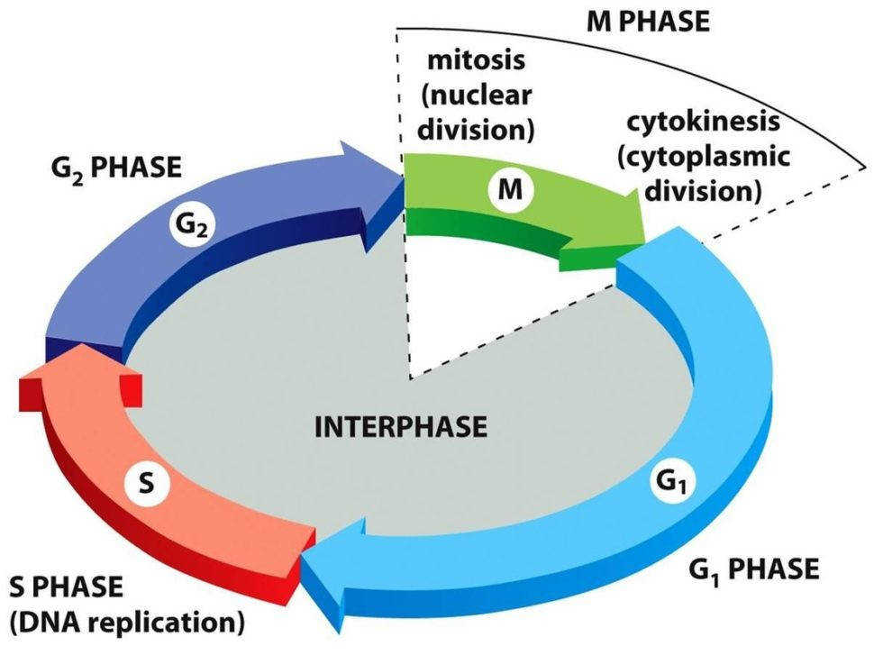 Size of Worksheet interphase Stage The Cell Cycle Stages Mitosis In Plant