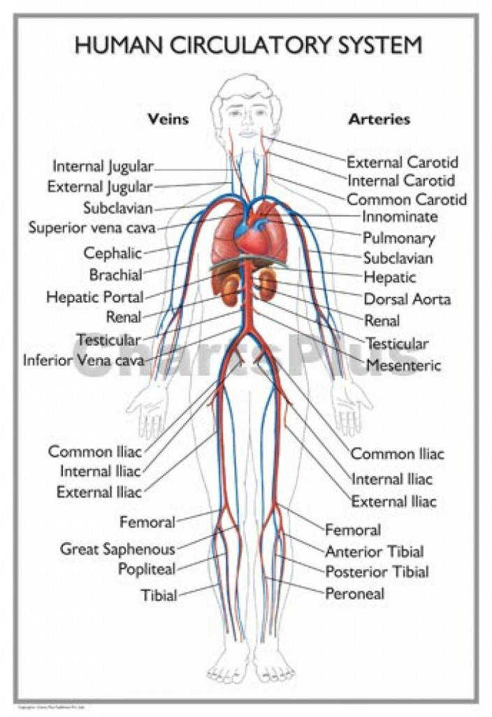 Picture A Circulatory System Circulatory System Black And White Human Anatomy Diagram