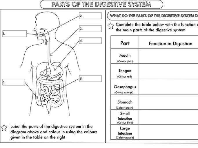 Year 4 Science Animals including humans digestion teeth and food chains worksheets by beckystoke Teaching Resources Tes
