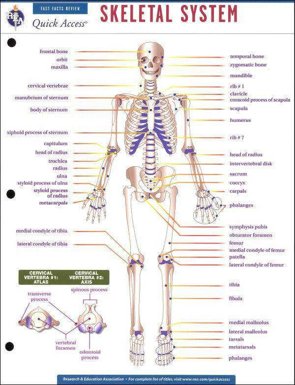 The Skeletal System Worksheet Answers Worksheet