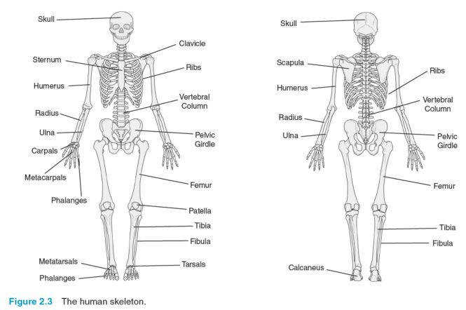 picture of skeletal system parts and functions Anatomy Chart Body
