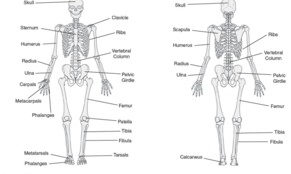 Skeletal System For Kids Worksheets The skeletal system