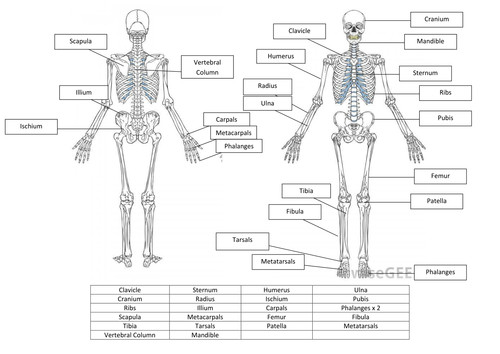 Skeletal System Worksheet and Answers by hayleyanne20 Teaching Resources Tes