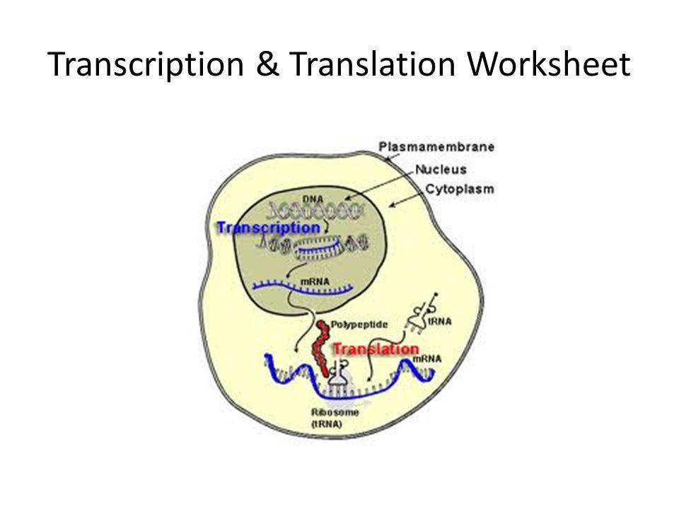 1 Transcription & Translation Worksheet
